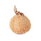 Noce di cocco su fondo bianco Fotografia Stock Libera da Diritti
