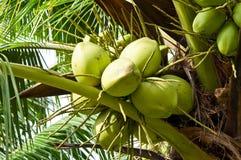 Noce di cocco sull'albero Fotografia Stock