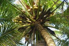 Noce di cocco sull'albero Fotografie Stock