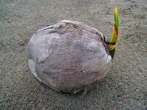 Noce di cocco sulla spiaggia Immagine Stock Libera da Diritti