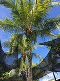Noce di cocco tropicale degli alberi a Singapore Fotografie Stock Libere da Diritti