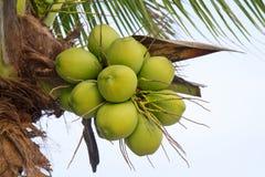 Noce di cocco verde all'albero Fotografia Stock