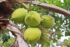 Noce di cocco verde all'albero Immagini Stock Libere da Diritti
