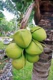Noce di cocco verde all'albero Immagini Stock