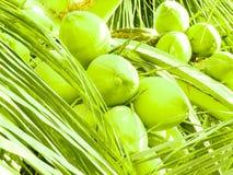 Noce di cocco verde all'albero fotografia stock libera da diritti