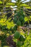 Noce di cocco verde nell'albero Immagini Stock Libere da Diritti
