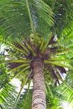 Noce di cocco verde sull'albero Fotografia Stock Libera da Diritti