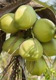 Noce di cocco verde Immagine Stock