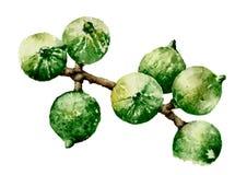 Noce di macadamia Immagini Stock Libere da Diritti