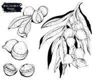 Noce di macadamia e ramo Il nero su bianco illustrazione di stock