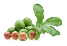 Noce di macadamia fresca immagini stock