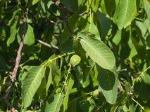 Noce non matura verde sull'albero con il primo piano delle foglie, fuoco selettivo, DOF basso Immagini Stock