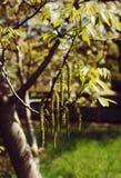 Noce sbocciante nella primavera Fotografia Stock Libera da Diritti