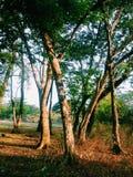 Noch Bäume Stockbild