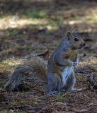 Noch Eichhörnchen Stockbilder