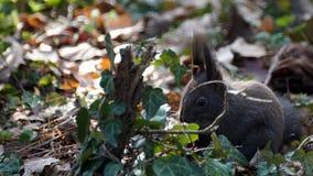 Noch Eichhörnchen im Sonnenunterganglicht Stockfotografie