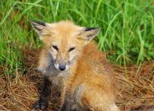 Noch Foxy schließlich jene Jahre lizenzfreies stockbild