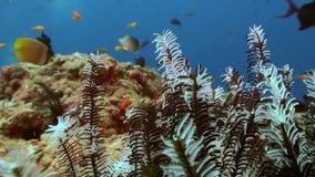 Noche del Mar Negro Crinoids en el filón en busca de la comida almacen de video