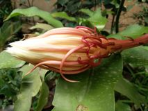 Noche Jasmine Flower floreciente Fotografía de archivo