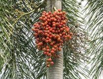 Noci di betel sull'albero 1 fotografie stock libere da diritti