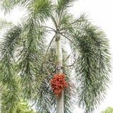 Noci di betel sull'albero 2 immagine stock libera da diritti