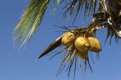 Noci di cocco che appendono sopra Fotografie Stock Libere da Diritti