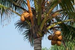Noci di cocco che appendono sulla palma Fotografia Stock