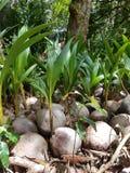 Noci di cocco con la piccola crescita di palmtrees immagini stock libere da diritti