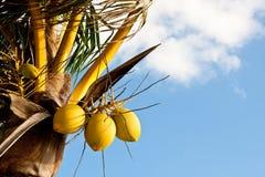 Noci di cocco dell'albero sull'albero contro il cielo Fotografie Stock