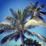 Noci di cocco dell'isola Immagine Stock