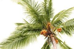 Noci di cocco della palma Fotografia Stock Libera da Diritti