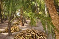Noci di cocco della raccolta sotto le palme Fotografia Stock Libera da Diritti