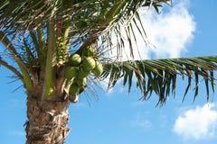 Noci di cocco e palma Immagini Stock