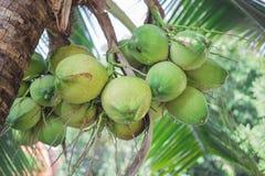 Noci di cocco e verde immagine stock