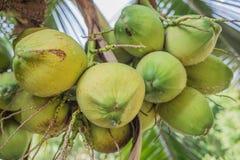 Noci di cocco e verde Fotografia Stock