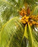 Noci di cocco gialle Fotografia Stock