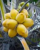 Noci di cocco gialle sulla palma Fotografia Stock