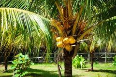 Noci di cocco gialle Vista sul mare tropicale Noci di cocco sulla palma fotografia stock libera da diritti