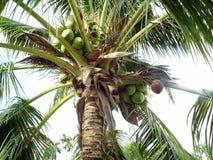 Noci di cocco: La frutta è molto ricca di utile Mente e corpo Immagine Stock