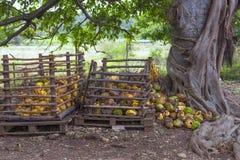 Noci di cocco mature accatastate in un mucchio sotto un albero Immagini Stock