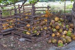 Noci di cocco mature accatastate in un mucchio sotto un albero Fotografie Stock Libere da Diritti