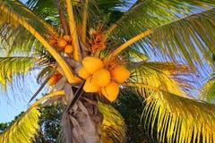 Noci di cocco nel simbolo tropicale del particolare della palma Fotografia Stock