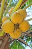 Noci di cocco rosse su un albero nel Vietnam Fotografia Stock Libera da Diritti