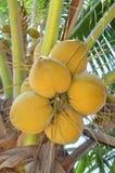 Noci di cocco rosse su un albero nel Vietnam Immagine Stock Libera da Diritti