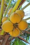 Noci di cocco rosse su un albero nel Vietnam Fotografie Stock Libere da Diritti