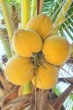 Noci di cocco rosse su un albero nel Vietnam Fotografia Stock