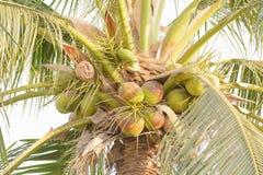 Noci di cocco su un albero Immagini Stock Libere da Diritti