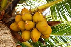 Noci di cocco su un albero di noce di cocco Immagini Stock
