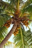 Noci di cocco su un albero di noce di cocco Fotografie Stock Libere da Diritti