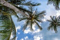 Noci di cocco su un albero sulla spiaggia Koh Samui Thailand Fotografie Stock Libere da Diritti